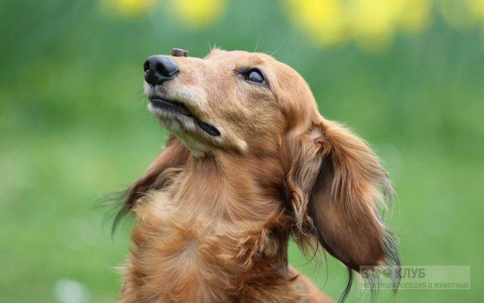 Фото таксы собаки, фото фотография картинка обои