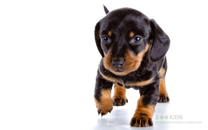 Черно-подпалый щенок таксы, фото фотография картинка обои