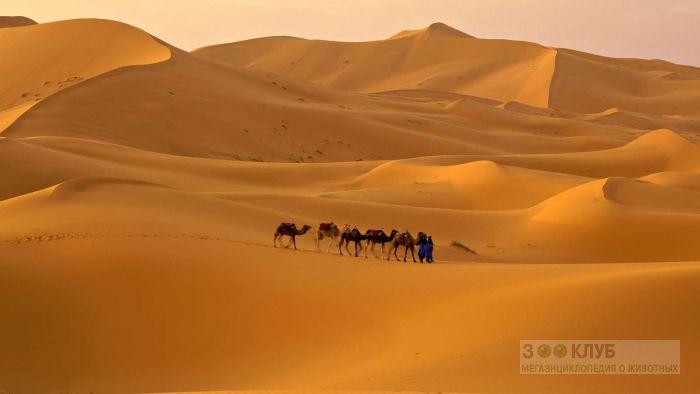 Караван верблюдов в пустыне сахара