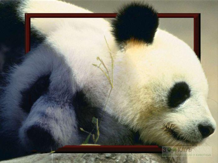 Животные красной книги панда фото