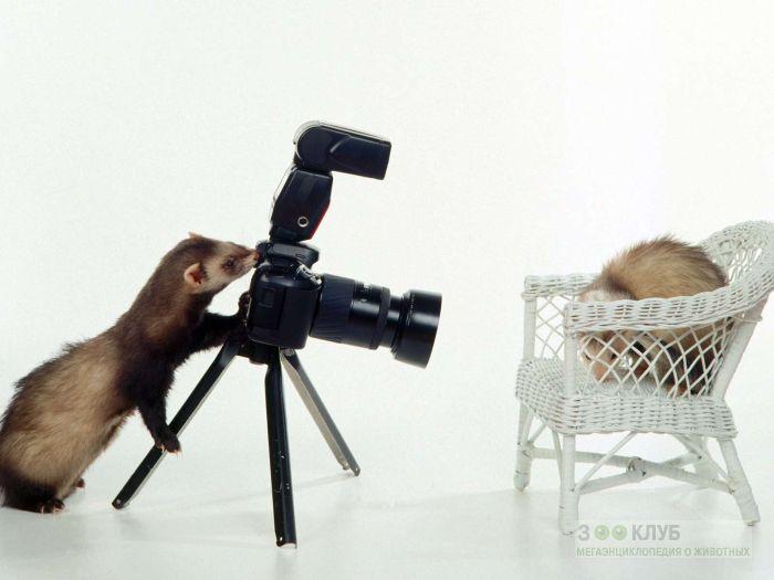Хорек-фотограф, фото фотография картинка обои