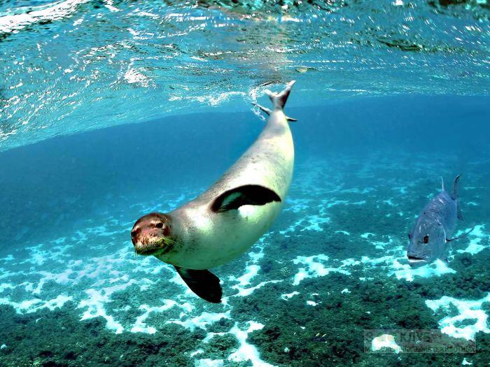 Тюлень-монах, белобрюхий тюлень (Monachus monachus), фото фотография картинка обои