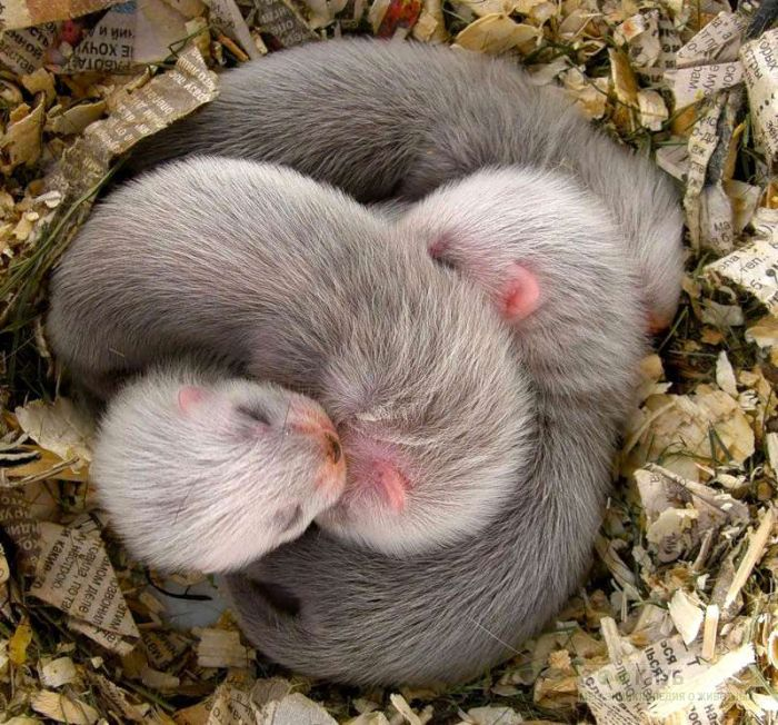 Спящие щенки хорька, фото фотография картинка обои