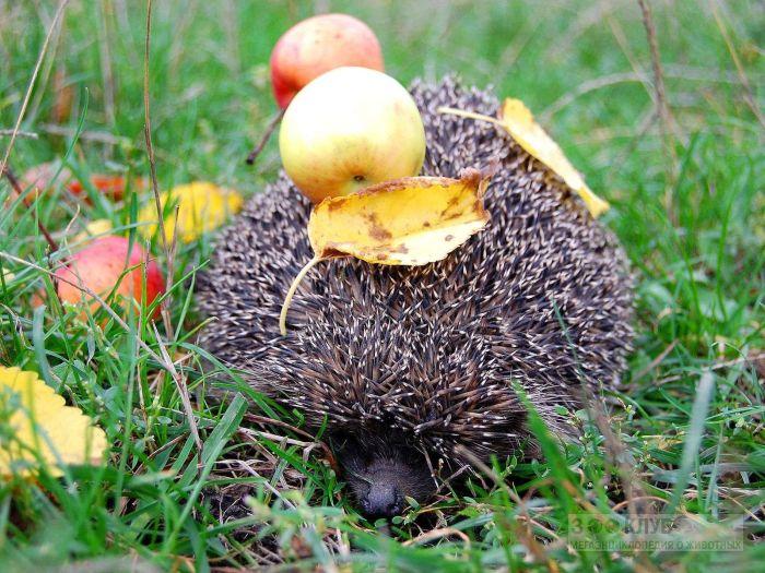 Еж (ежик) с яблоком на спине, фото фотография картинка обои