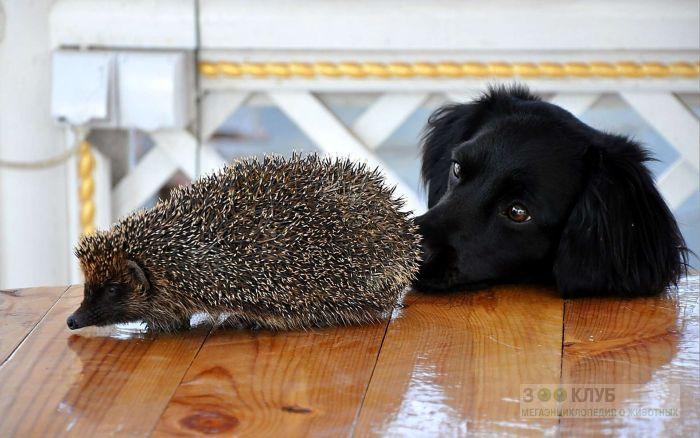 Ежик и черная собака, фото фотография картинка обои