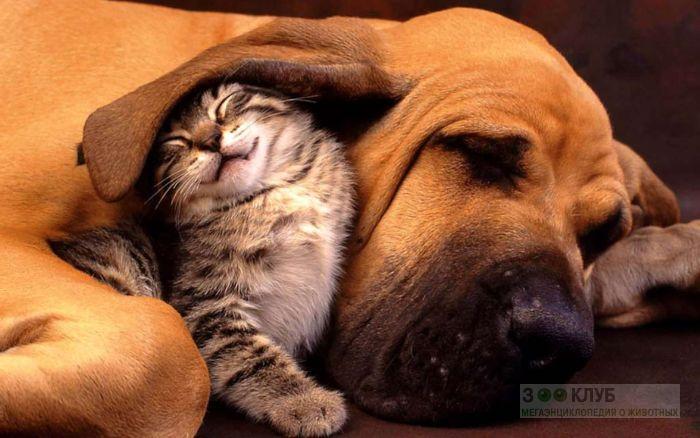 Котенок спит под ухом бладхаунда, прикольная смешная картинка фото