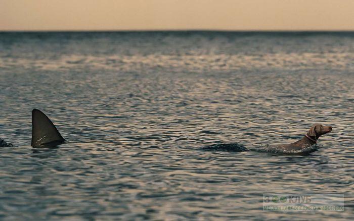 Акула охотится на собаку веймаранера, прикольная смешная картинка фото рисунок