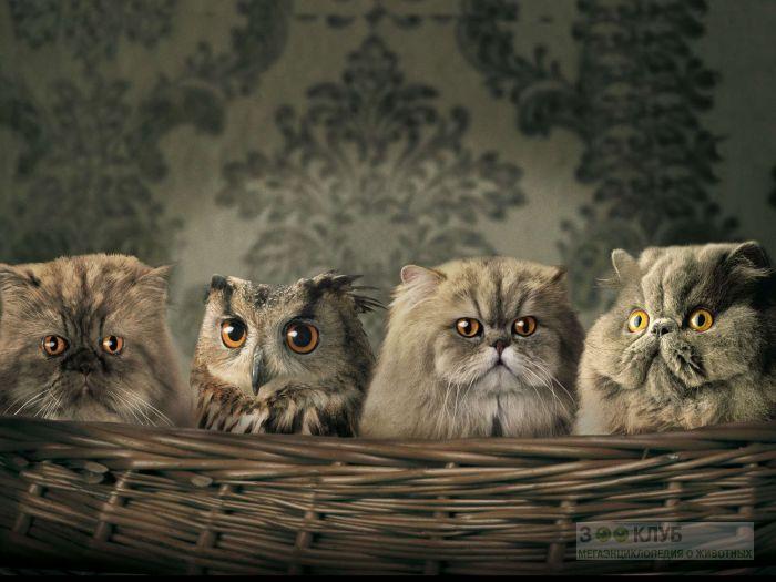 Сова спряталась среди персидских кошек, прикольная смешная картинка фото рисунок