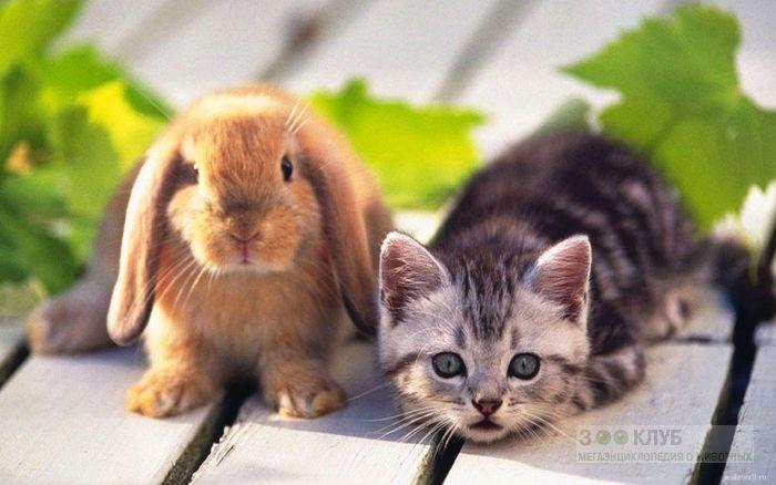 Кролик карликовый баран и котенок, прикольная смешная картинка фото
