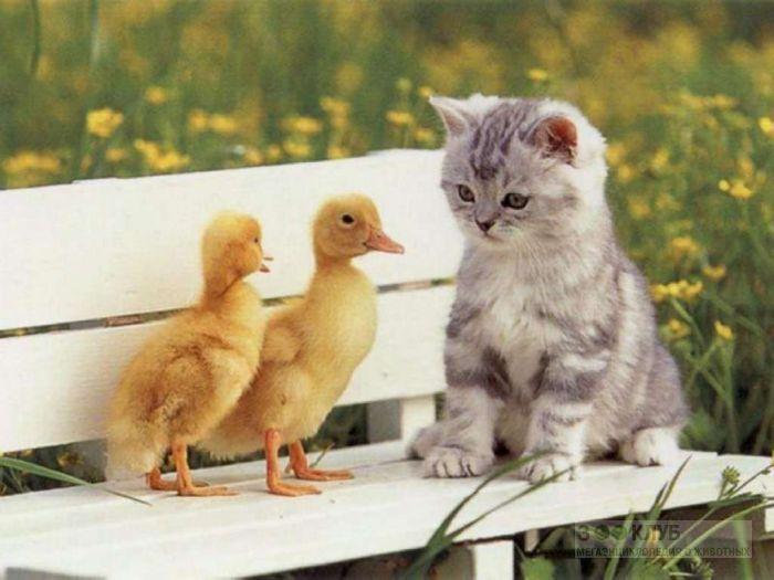 Котёнок и гусята, прикольная смешная картинка фото