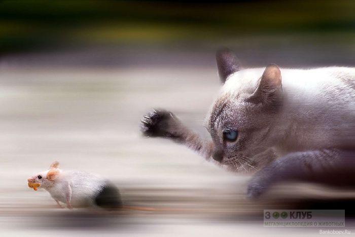 Кошка гонится за мышкой, прикольная смешная картинка фото