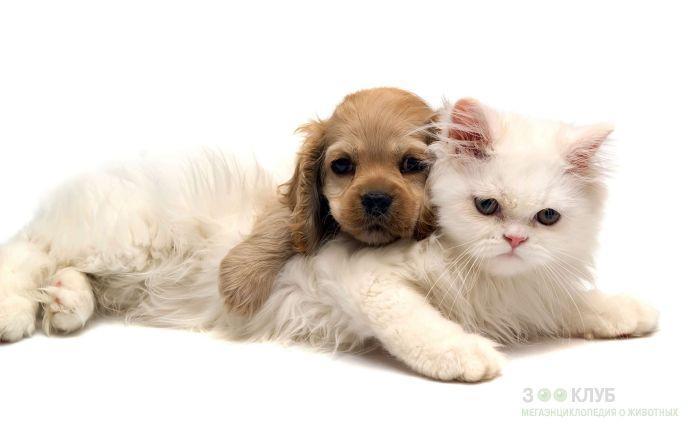 Персидская кошка и щенок кокер-спаниеля, прикольная смешная картинка фото