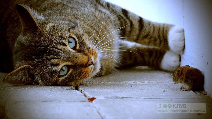 Кошка наблюдающая за мышкой, прикольная смешная картинка фото
