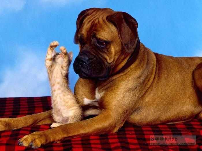 Собака боксер и рыжий котенок, прикольная смешная картинка фото