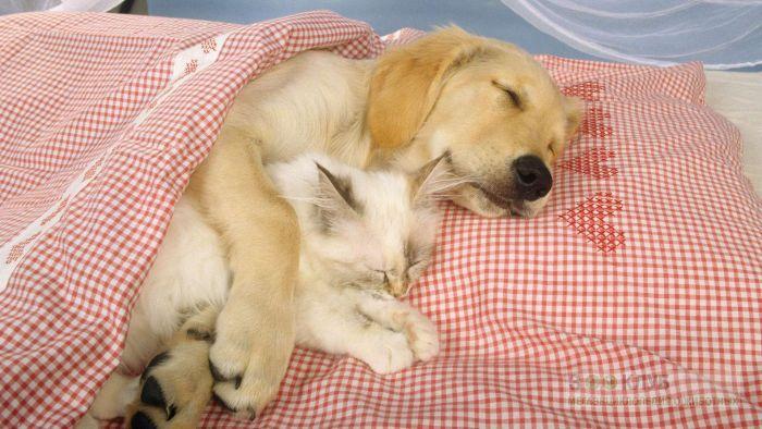 Голден ретривер спит вместе с котенком, прикольное фото смешная картинка