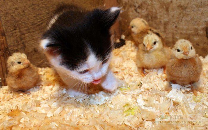 Котенок среди цыплят, прикольное фото смешная картинка