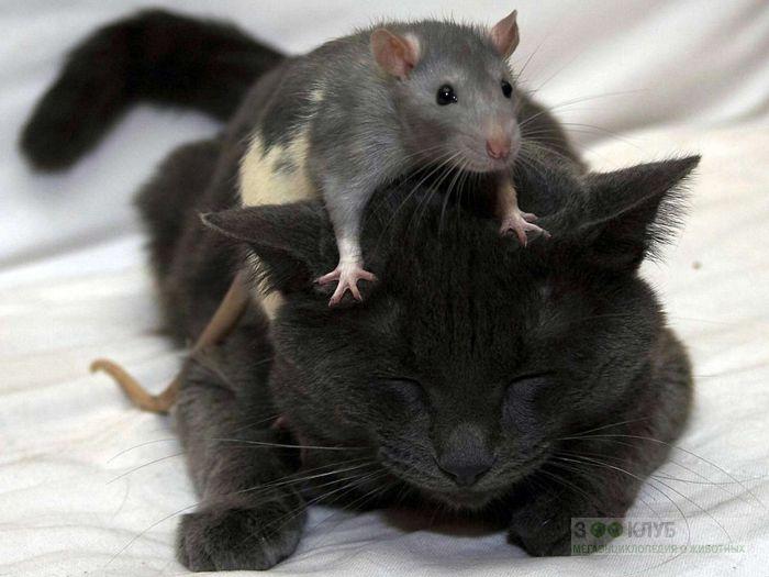 Домашняя крыса сидит на голове у кошки, прикольное фото смешная картинка