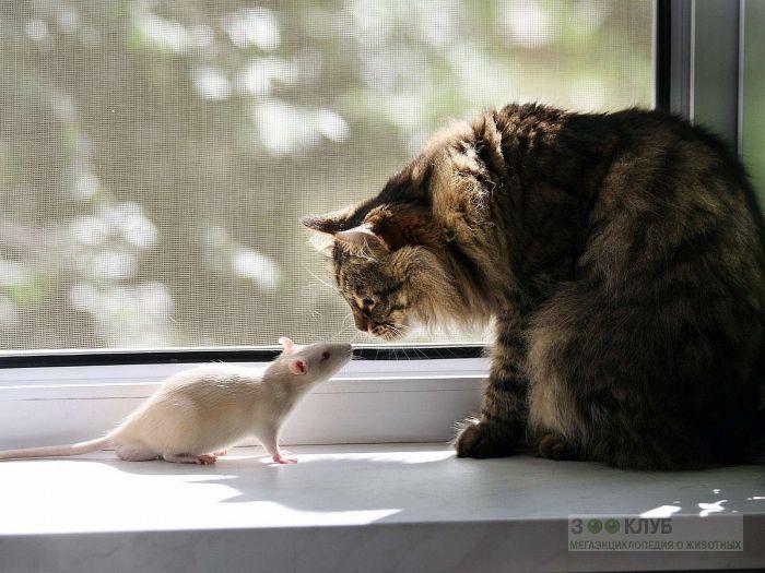 Кот и крыса-альбинос, прикольное фото смешная картинка