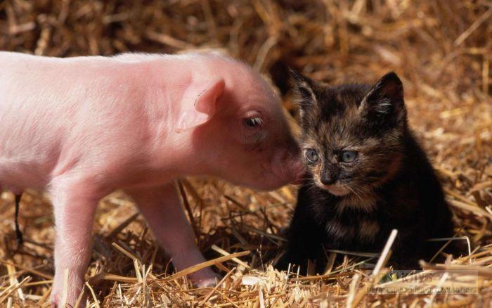Розовый поросенок и котёнок, прикольное фото смешная картинка
