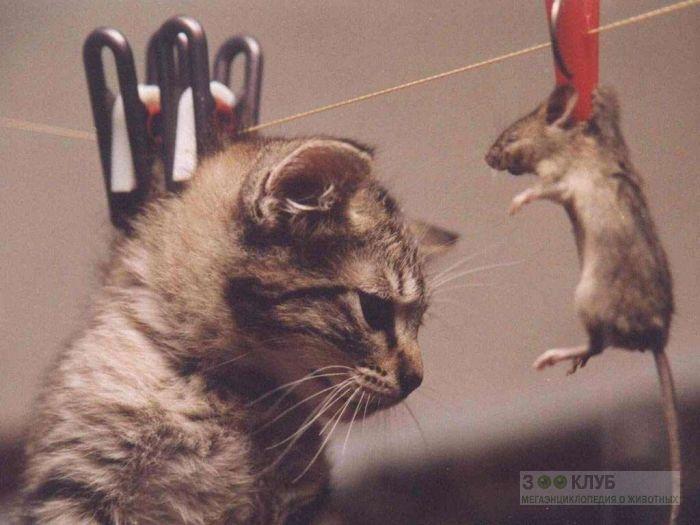 Крыса и котенок сохнут на веревке, прикольное фото смешная картинка