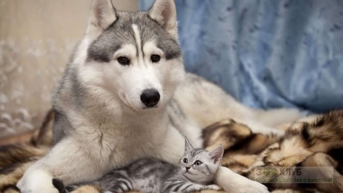 Маламут и британский котенок окраса вискас, прикольное фото смешная картинка
