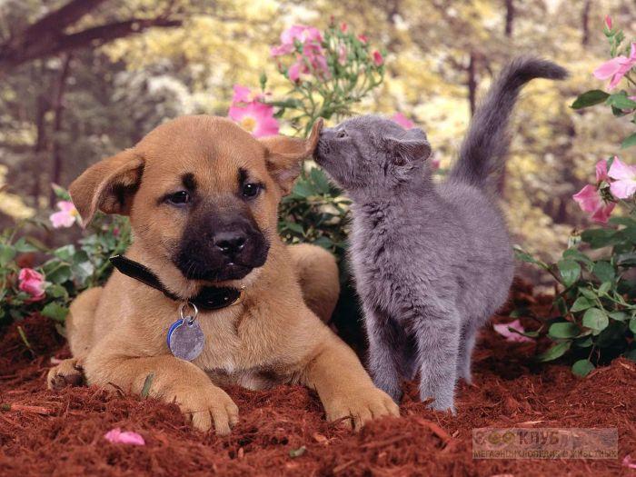 Щенок и голубой котенок, прикольное фото смешная картинка