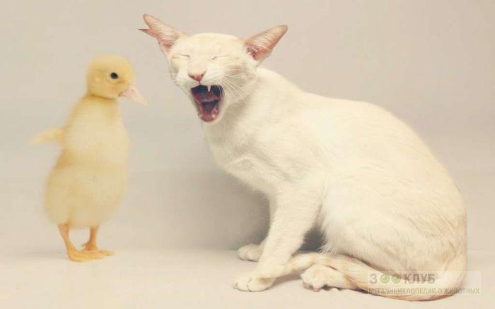 Ориентальный кот и гусенок, прикольное фото смешная картинка