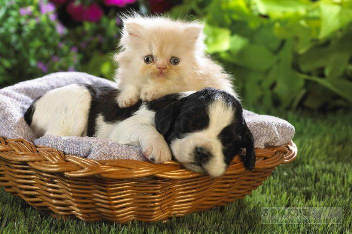 Щенок спаниеля и персидский котенок в корзинке, прикольное фото смешная картинка