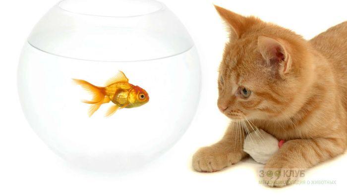 Рыжий кот наблюдает за золотой рыбкой в аквариуме, прикольное фото смешная картинка