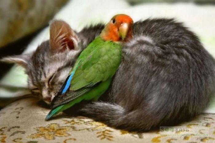 Попугай неразлучник спит на котенке, прикольное фото смешная картинка