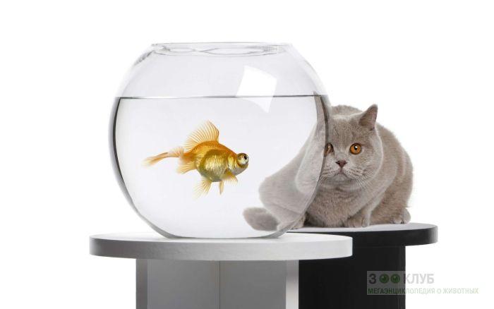 Британский кот и золотая рыбка, прикольное фото смешная картинка