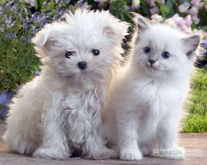 Кудрявый щенок и белый котенок, прикольное фото смешная картинка