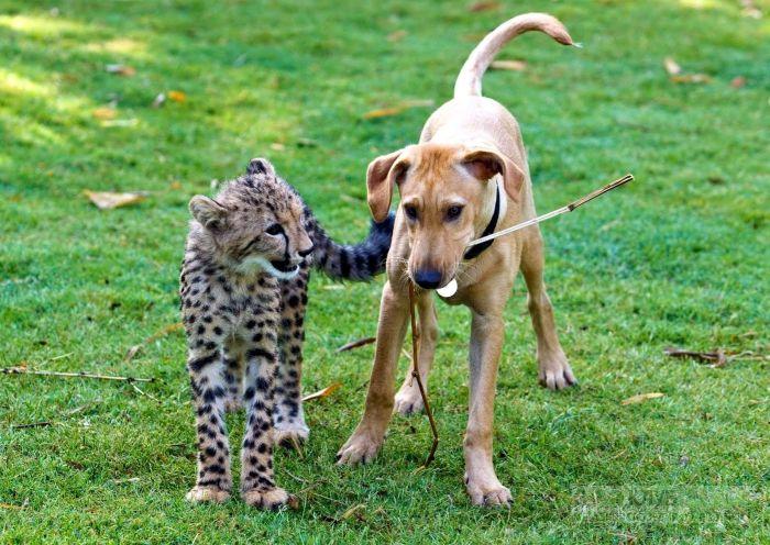 Щенок и котенок гепарда, прикольное фото смешная картинка