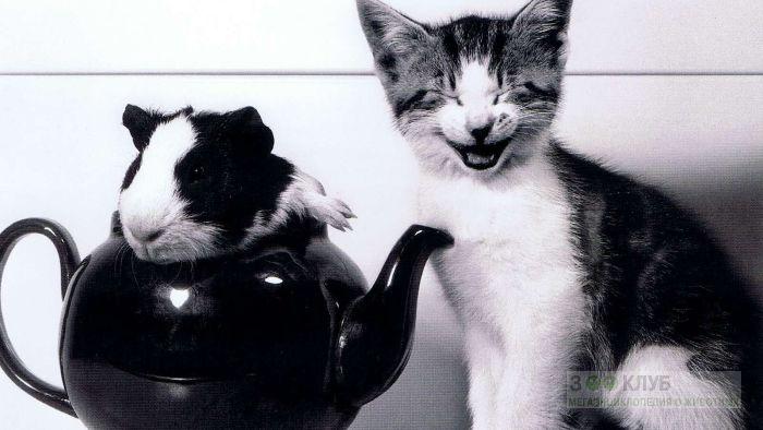 Котёнок и морская свинка в чайнике, прикольное черно-белое фото смешная картинка