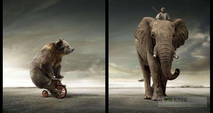 Медведь на велосипеде, погонщик на слоне, прикольное фото смешная картинка