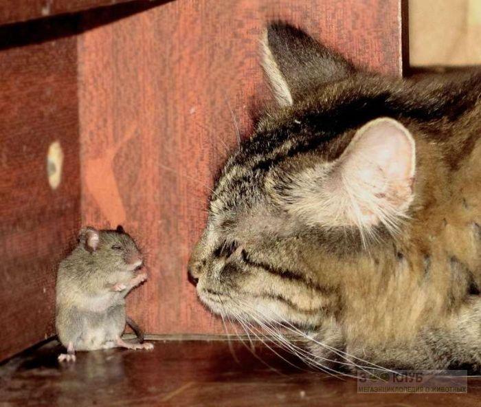 Кошка загнала мышь в угол, прикольное фото смешная картинка