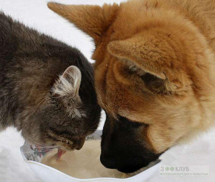 Щенок и котенок лакают молоко из одной миски, прикольное фото смешная картинка