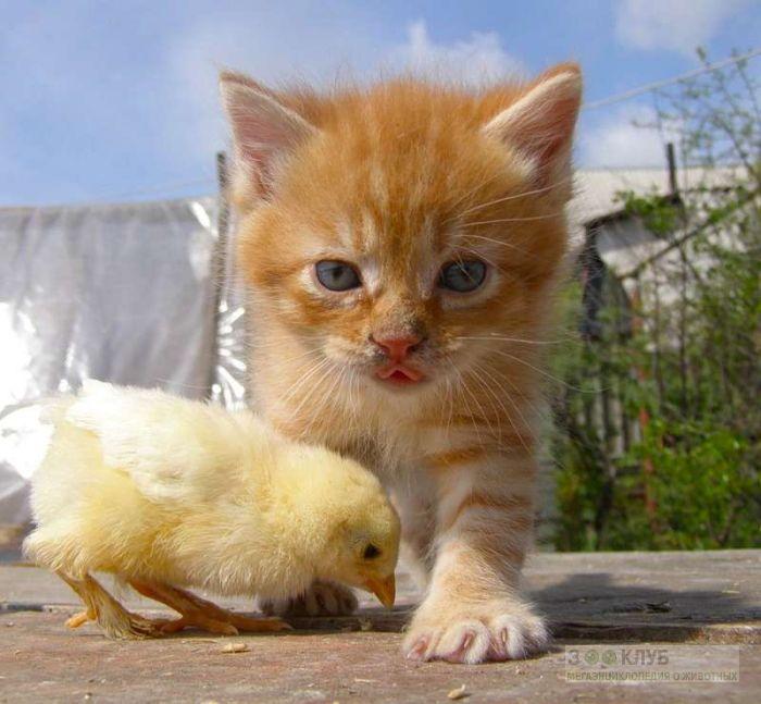 Котенок и цыпленок, прикольное фото смешная картинка