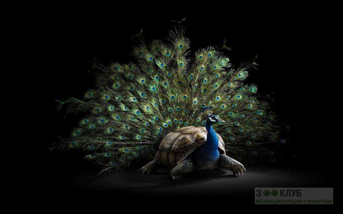 Помесь черепахи и павлина, прикольное фото смешная картинка