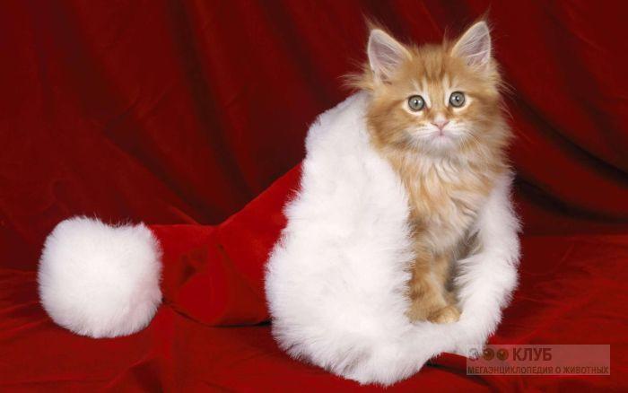 Котенок в шапке Санта-Клауса, фото фотография картинка обои