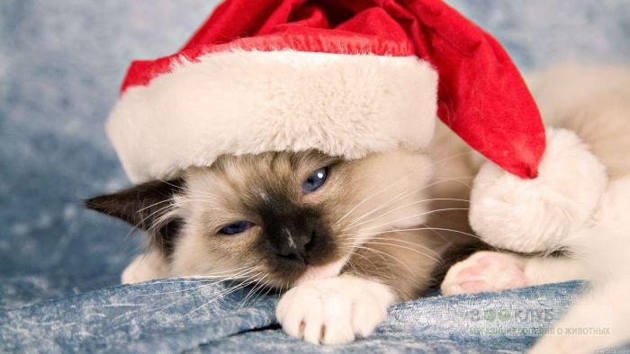 Голубоглазый котенок, фото фотография картинка обои