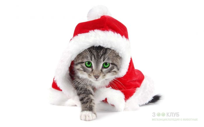 Кошка в костюме снегурочки, фото фотография картинка обои