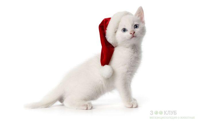 Белый котенок с голубыми глазами, фото фотография картинка обои