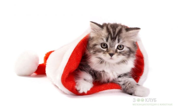 Сибирский котенок, фото фотография картинка обои