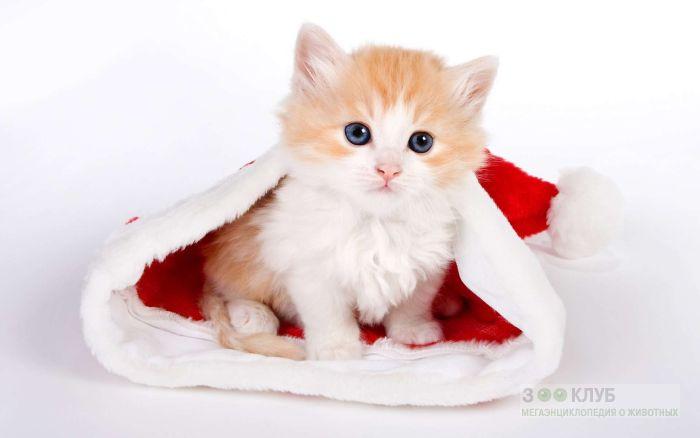 Рыже-белый котёнок, фото фотография картинка обои