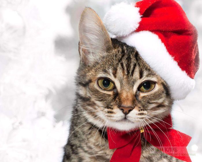 Новогодний кот, фото фотография картинка обои