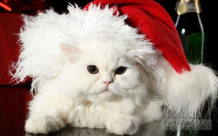 Персидский кот в шапке, фото фотография картинка обои