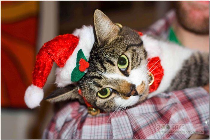 Европейская короткошерстная кошка, фото фотография картинка обои