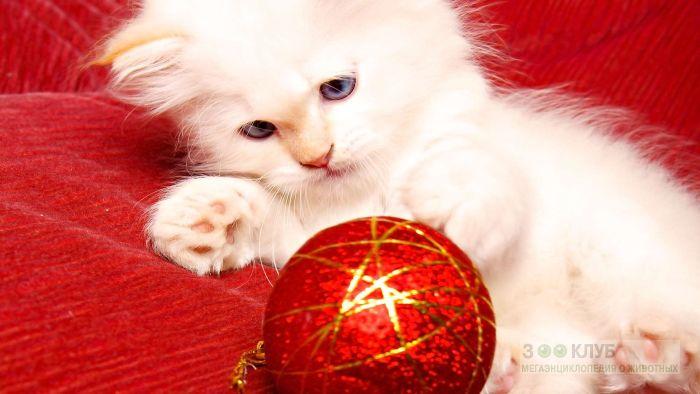 Белый котенок играет с красным шаром, фото фотография картинка обои