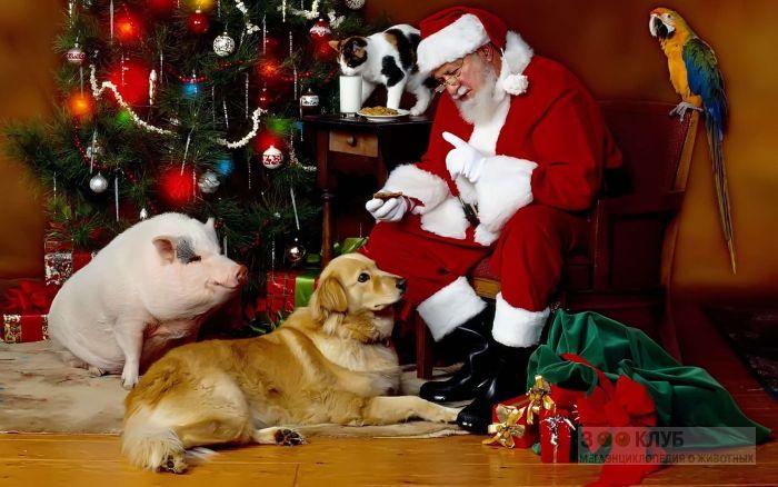 Свинья, собака, кот и попугай с Санта Клаусом, фото фотография картинка обои